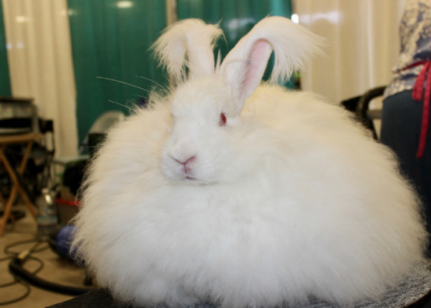 Giant Angora Rabbit Association
