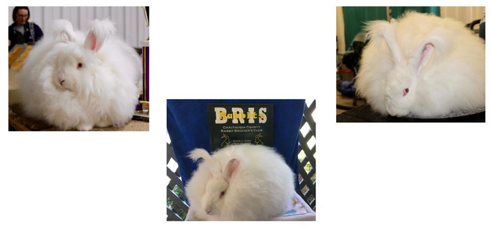 Giant Angora Rabbit Breeders