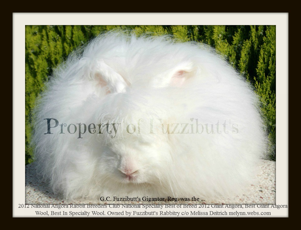 giant angoras national angora rabbit breeders club